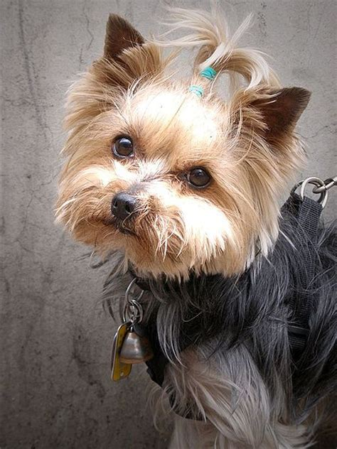 Picture 3 of 3 - Yorkshire Terrier Pictures & Images