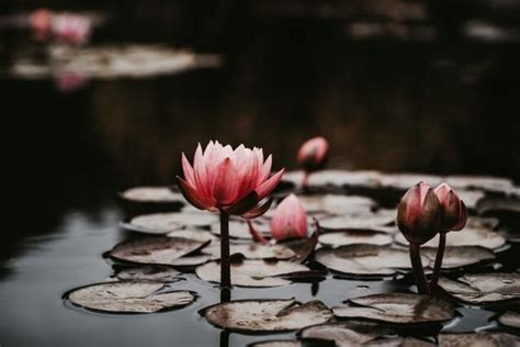 Lotus | Kamala and the Lotus King | Flower pictures