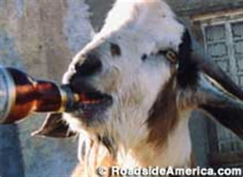 Terlingua, TX - Clay Henry - Famous Beer-Drinking Dead Goat