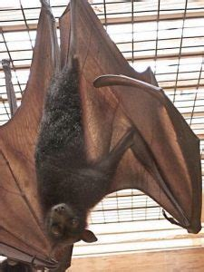 Large Flying Fox Facts, Habitat, Diet, Pictures
